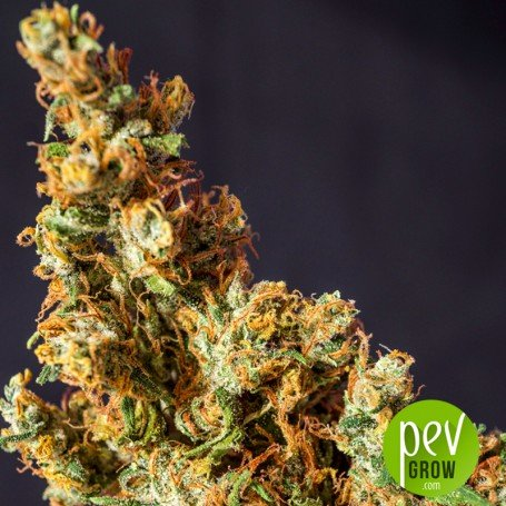 Prima Holandica - Super Sativa Seed Club