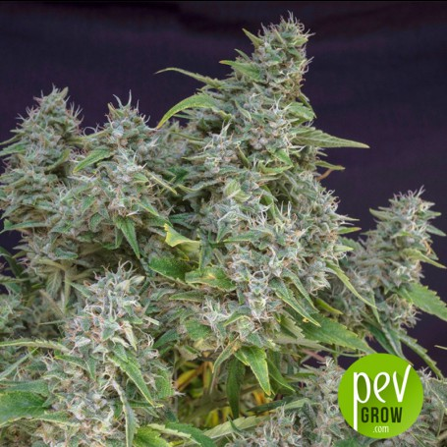 Frosty Friday - Super Sativa Seed Club