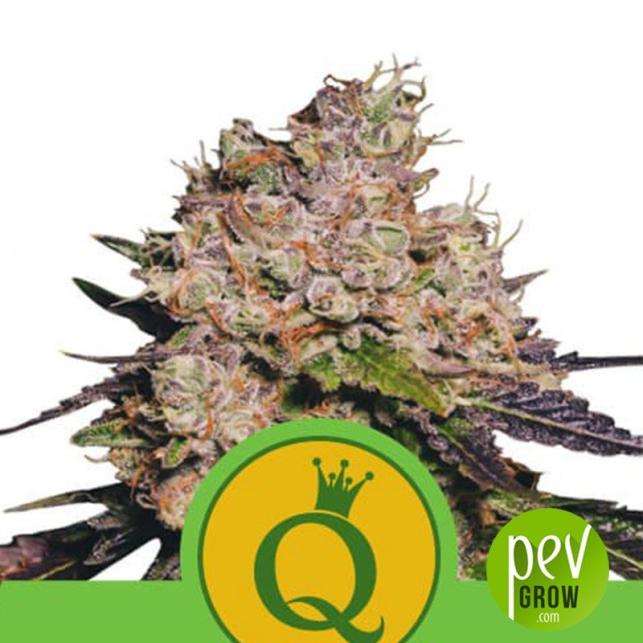Purple Queen Auto - Royal Queen Seeds