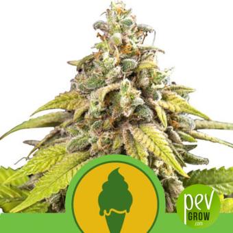 Green Gelato Auto - Royal Queen Seeds