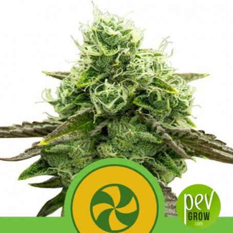 Sweet ZZ Auto - Royal Queen Seeds