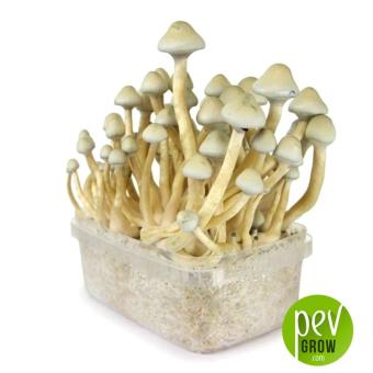 Kit de culture de champignons Psilocybe Cubensis A