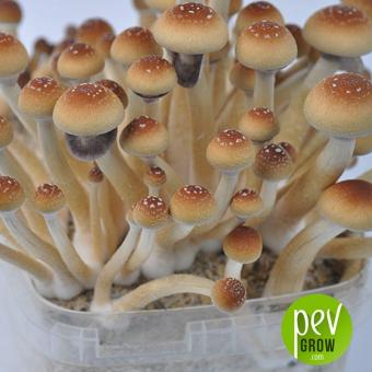 Orissa India mushroom growing kit