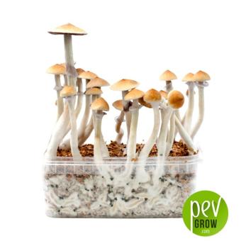 Kit de culture du champignon Cambodian