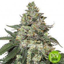 Girl Scout Cookies Auto - Seed Stockers