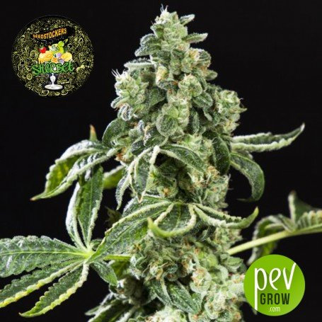 Sherbet Auto - Seed Stockers