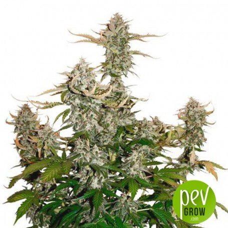 Candy Dawg Auto - Seed Stockers