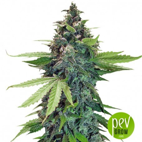 Sticky Fingers Auto - Seed Stockers