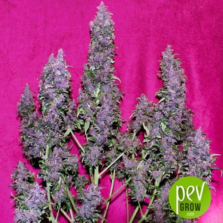 Purple Punch Auto - Seed Stockers