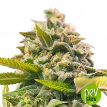 Auto Pineapple Express - G13 Labs