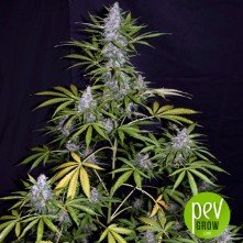 Afghan Shadow Auto ASB plant - Xtreme Seeds