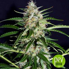 Black Ryder 98 Auto ASB - Xtreme Seeds