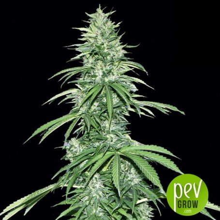 Sour Ryder Auto ASB - Xtreme Seeds