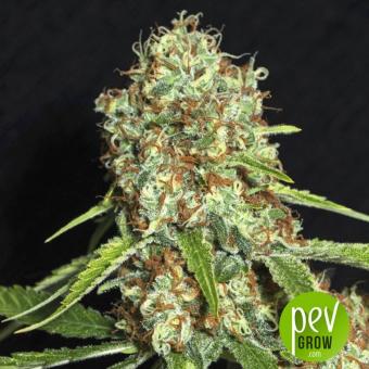 Jamaican Dream CBD - Eva Seeds