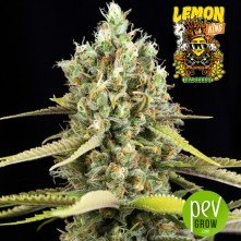 Lemon King - Eva Seeds