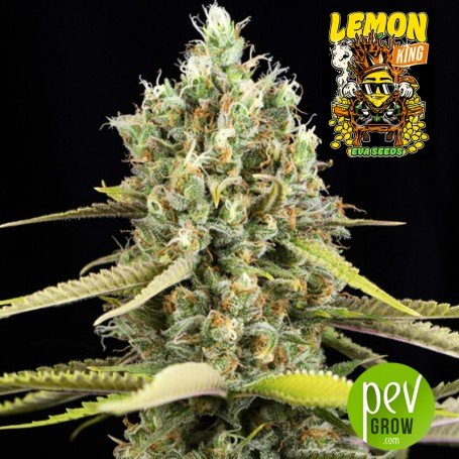Lemon King - Eva Seeds