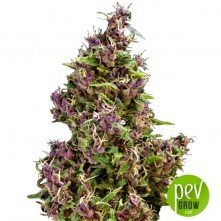 Purple Paro Valley - Mandala Seeds
