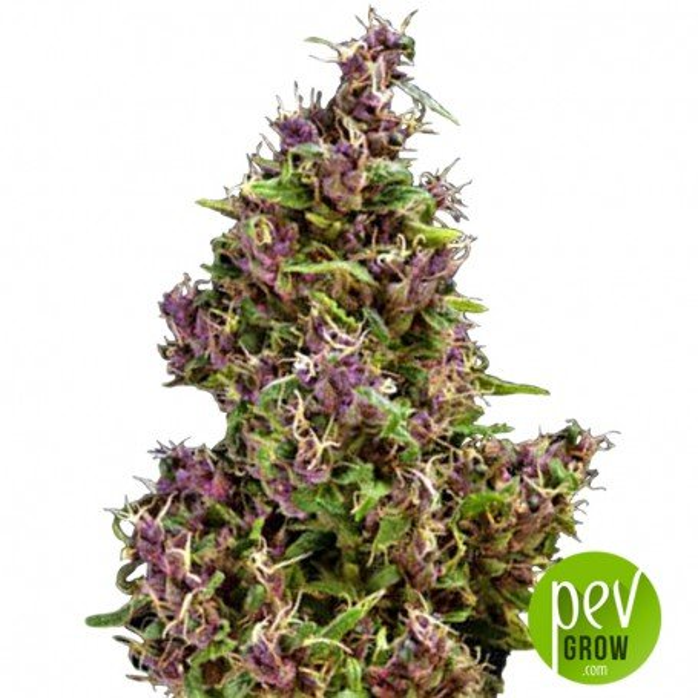 Purple Paro Valley - Mandala Seeds