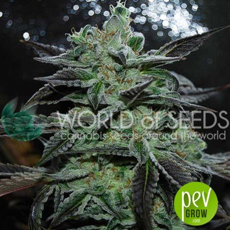Strawberry Blue (Early Harvest) - World of seeds
