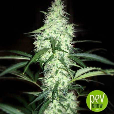 Irie - French Touch Seeds