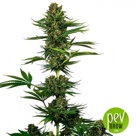 Satin Black Domina CBD envase - Sensi Seeds