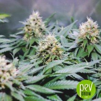 Recovery CBD - Medical Seeds