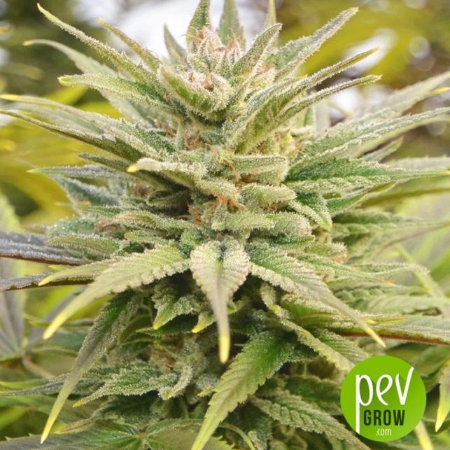 Y Griega CBD 2.0 - Medical Seeds