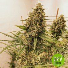 Guawi - Ace Seeds