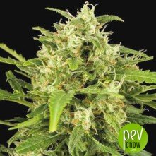 Critical Mass Automatic - Big Buddha Seeds