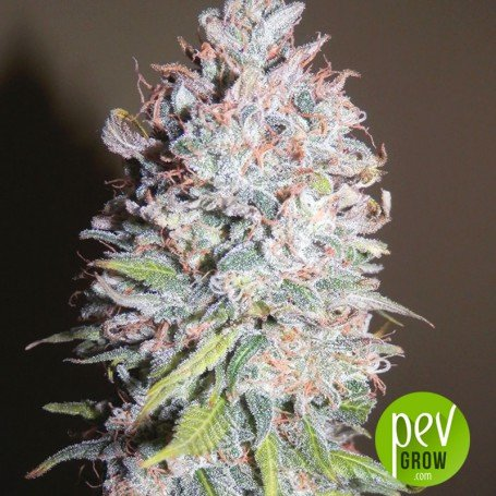 Chocolope - DNA Genetics