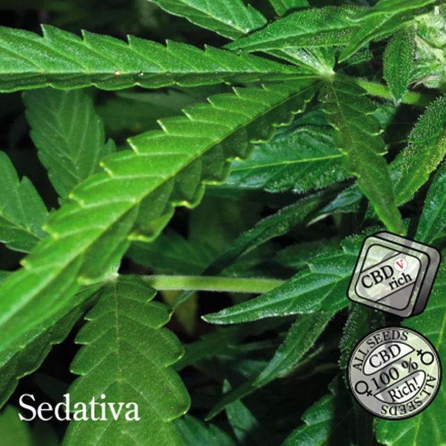 Sedativa - Elite Seeds