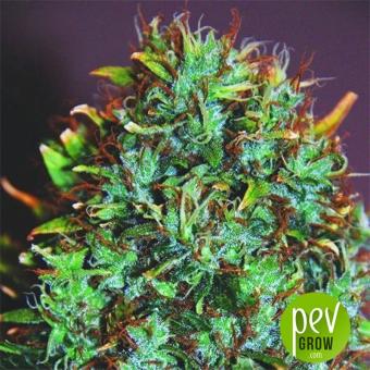 Expert Haze - Expert Seeds