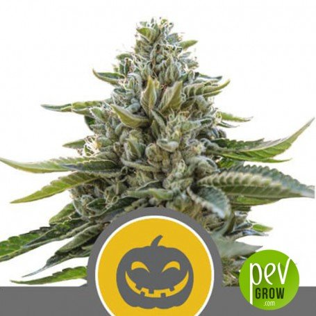 Pumpkin Kush Regular - Royal Queen Seeds