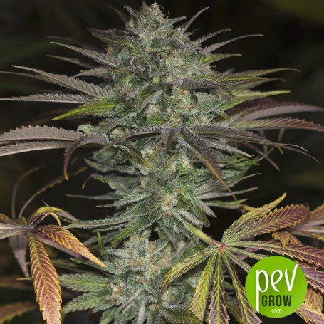 Bubba Kush, can register in indoor crops 450-500 gr per m2...