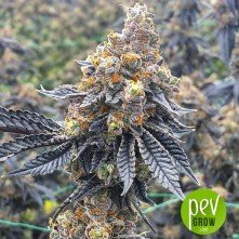 Chemdawg - Humboldt Seeds