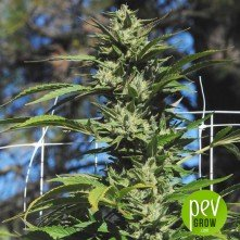 Dr.Greenthumb's Em-Dog de B-Real - Humboldt Seeds