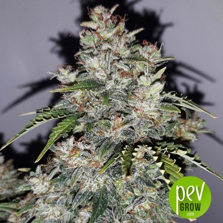 White Critical Express - Kalashnikov Seeds