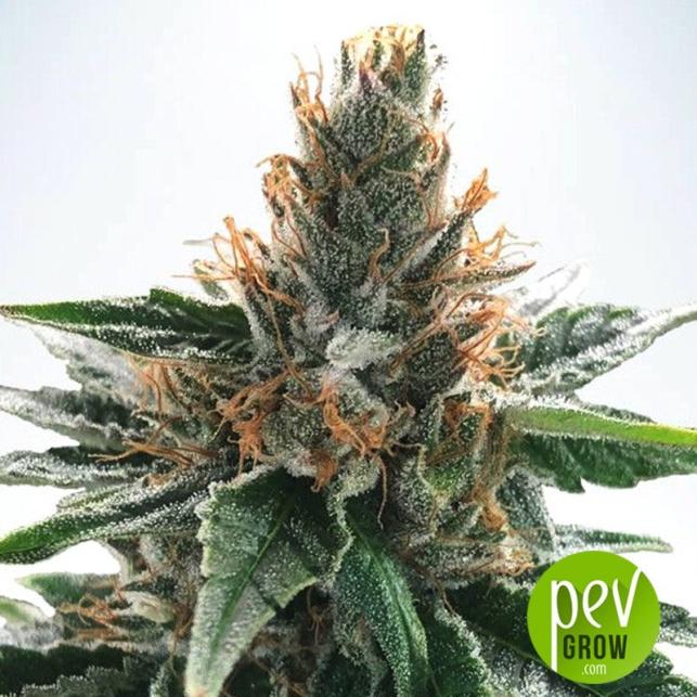 Auto God's Glue - Ministry of Cannabis