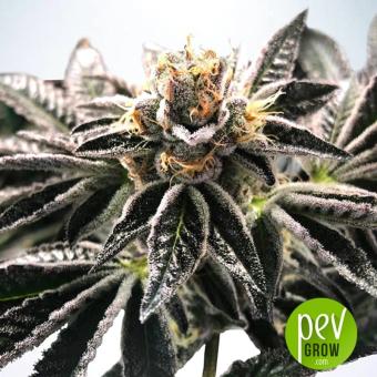 Mandarin Gelato - Ministry of Cannabis