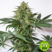 Black Widow - Mr Nice Seeds