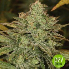 Original Cheese - Paradise Seeds