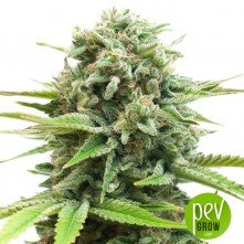 White Widow - Pure Seeds