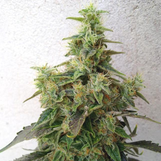 G13-NYC Diesel - Soma Seeds