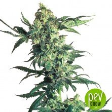 Auto Northern Lights XXL planta