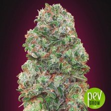 Bubble Gum Fast - 00 Seeds