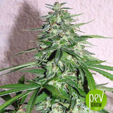 South Mountain Golden - Xtreme Seeds