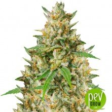 Nepalese Jam Regular - Ace Seeds