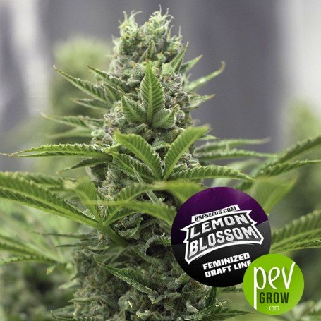 Lemon Blossom - BSF Seeds
