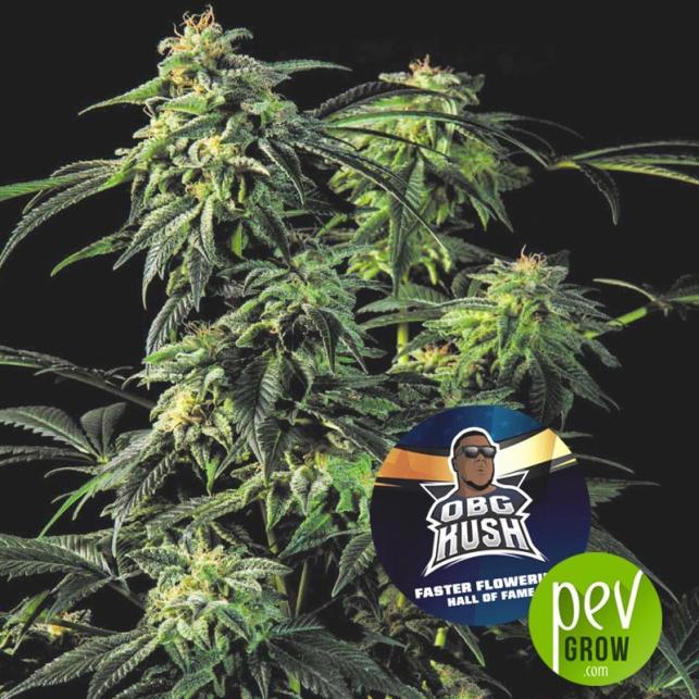OBG Kush - BSF Seeds