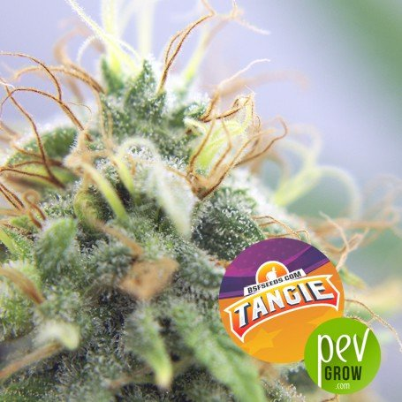 Tangie - BSF Seeds